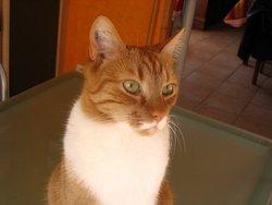 Bouba, chat Européen