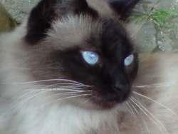Bouba, chat Ragdoll
