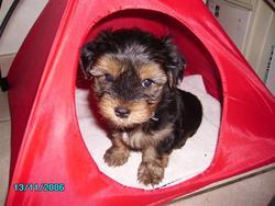 Bouba, chien Yorkshire Terrier