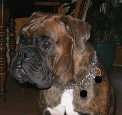 Bouba, chien Boxer
