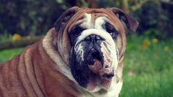 Bouba, chien Bulldog