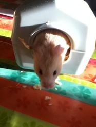 Bouba, rongeur Hamster