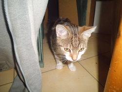 Bouba, chat American Bobtail