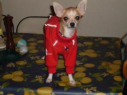 Bouba, chien Chihuahua