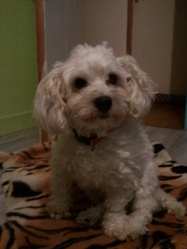 Bouba, chien Bichon à poil frisé