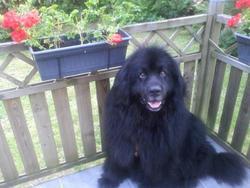 Bouba, chien Terre-Neuve