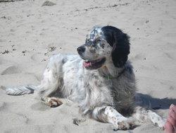 Bouba, chien Setter anglais