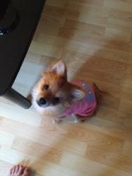 Boubi, chien Spitz allemand
