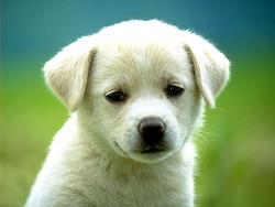 Boubix, chien Akita américain