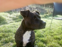 Boubou, chien American Staffordshire Terrier