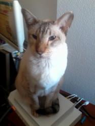 Boubou, chat Siamois