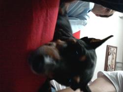 Boubou , chien Pinscher