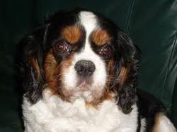 Boubou, chien
