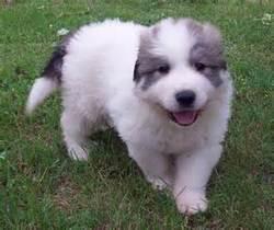 Boubou, chien Chien de montagne des Pyrénées