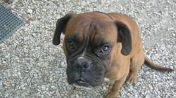 Boubou, chien Bouledogue français