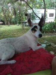 Boubou, chien Jack Russell Terrier