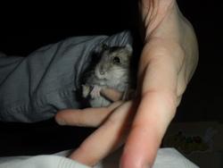 Boubouille, rongeur Hamster