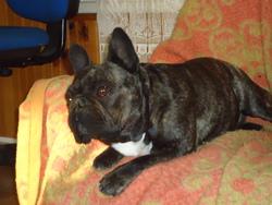 Boubouille, chien Bouledogue français