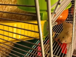 Choukette, rongeur Hamster