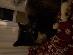 Bouboule, chat Sibérien