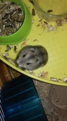 Bouboule, rongeur Hamster