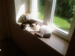 Bouboule, chat Européen