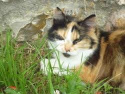Bouboule, chat Norvégien