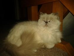 Bouboule, chat Ragdoll