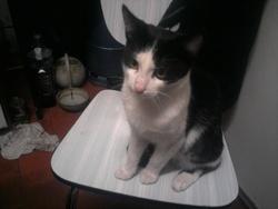 Bouboule, chat Oriental
