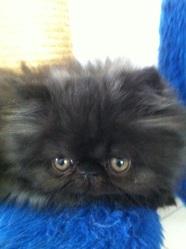 Bouboule, chat Persan