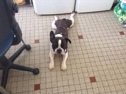 Bouboule, chien Bouledogue français