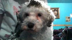 Doudoun, chien Caniche