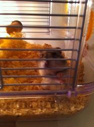 Bouchon, rongeur Hamster