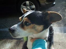 Bouchon, chien Jack Russell Terrier