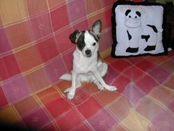 Bouda, chien Chihuahua