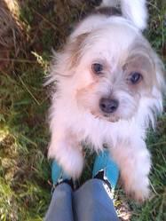 Boudat, chien Airedale Terrier