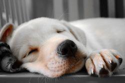 Bouddha, chien Labrador Retriever