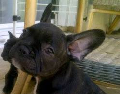 Bouddha, chien Bouledogue français