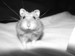 Boudha, rongeur Hamster