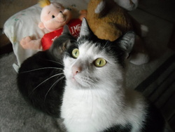 Boudu, chat Européen