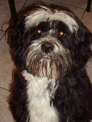 Bouffy, chien Terrier tibétain