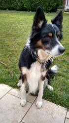 Bouguy, chien Border Collie