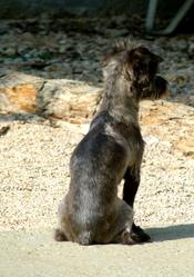 Bouille, chien Yorkshire Terrier