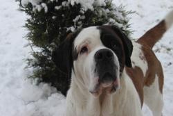 Bouille, chien Saint-Bernard