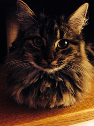 Bouille, chat Maine Coon