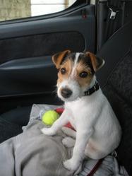 Bouille, chien Jack Russell Terrier