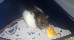Bouille, rongeur Rat