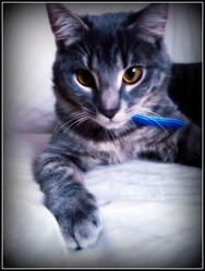 Bouille, chat Européen