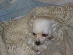 Boukitsa, chien Chihuahua