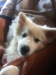 Boule, chien Spitz allemand
